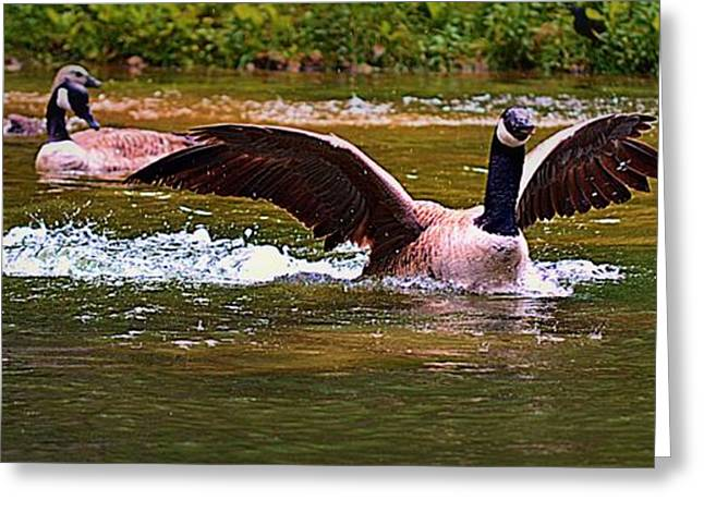 Water Fowl Greeting Cards - Coming in for a Landing Greeting Card by Tara Potts