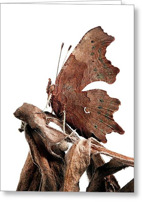 Comma Butterfly Greeting Card by Alex Hyde