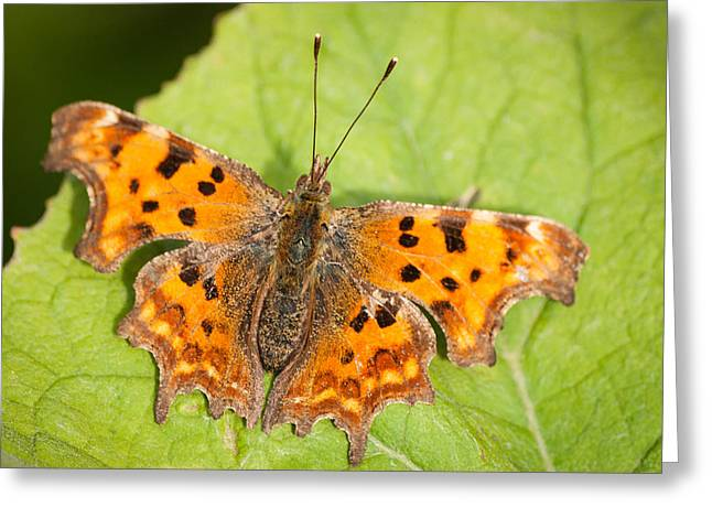 Butterlfy Greeting Cards - COMMA Butterfly Greeting Card by Keith Thorburn LRPS