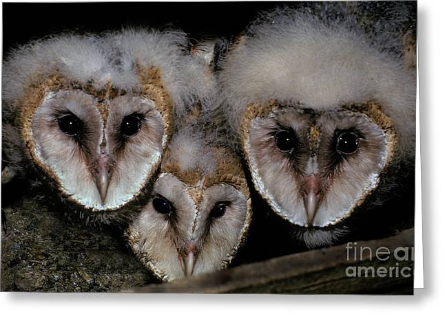 Three Chicks Greeting Cards - Common Barn Owl Chicks Tyto Alba Greeting Card by Ron Sanford