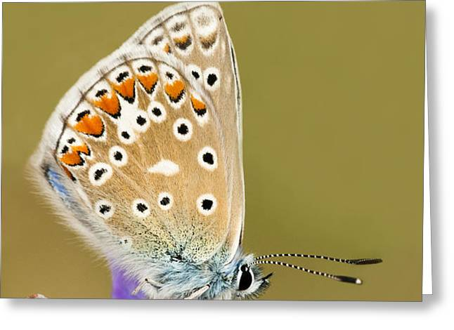 Common Blue Greeting Card by Anne Gilbert