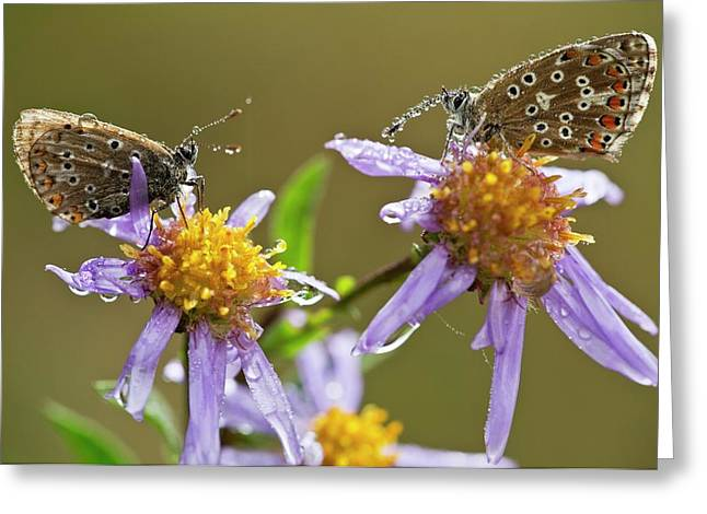 Common Blue Butterflies Covered In Dew Greeting Card by Bob Gibbons