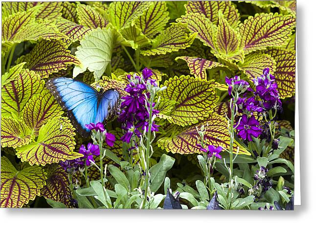 Common Tiger Butterfly Greeting Cards - Common Blue Morpho Butterfly Greeting Card by Jack R Perry