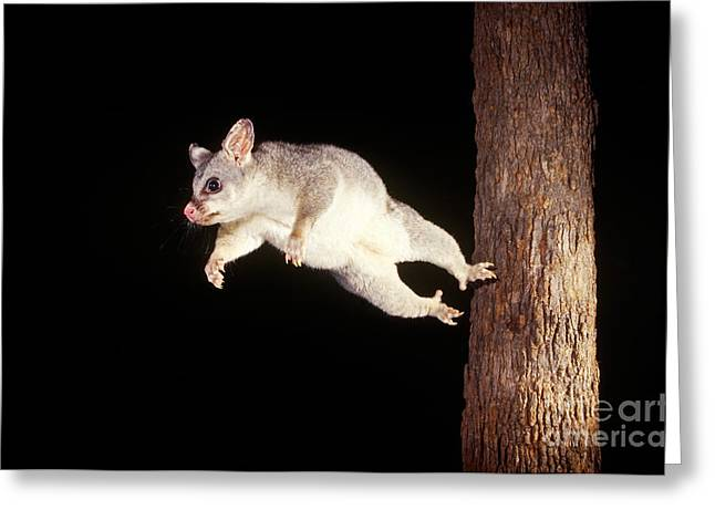 Brushtail Greeting Cards - Common Brush-tailed Possum Greeting Card by BG Thomson