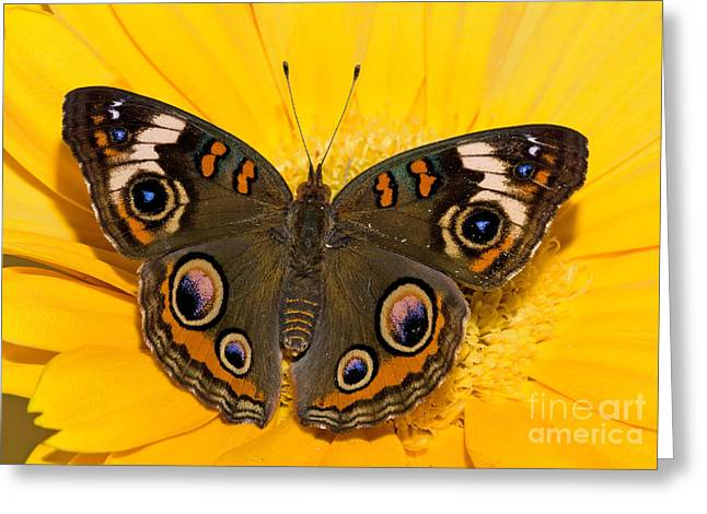 Duval County Greeting Cards - Common Buckeye Butterfly Greeting Card by Millard H Sharp