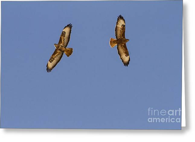 Flying Animal Greeting Cards - Common buzzard 2 Greeting Card by Eyal Bartov