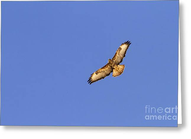 Flying Animal Greeting Cards - Common buzzard 3 Greeting Card by Eyal Bartov