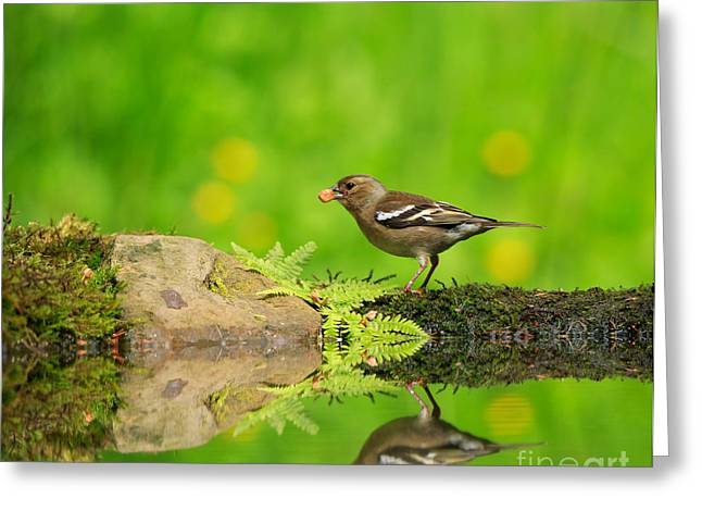 Back Yard Birds Greeting Cards - Common Chaffinch female foraging beside a reflecting pool Greeting Card by Louise Heusinkveld