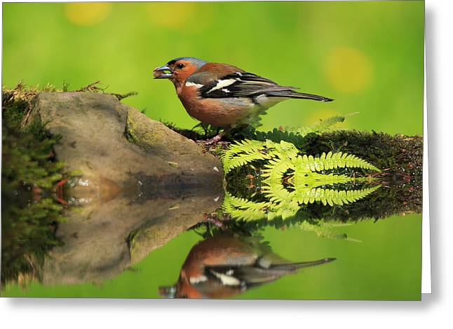 Common Chaffinch Fringilla Coelebs Male Greeting Card by Louise Heusinkveld