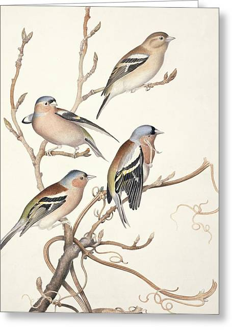 Quartet Greeting Cards - Common chaffinches, 19th century artwork Greeting Card by Science Photo Library
