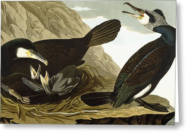 Cormorants Greeting Cards - Common Cormorant Greeting Card by John James Audubon