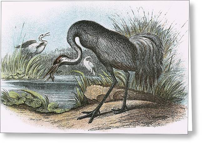 Common Crane Greeting Card by English School
