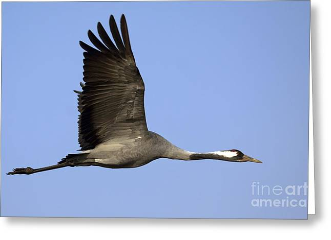 Exoticism Greeting Cards - Common Crane Grus grus Greeting Card by Nir Ben-Yosef