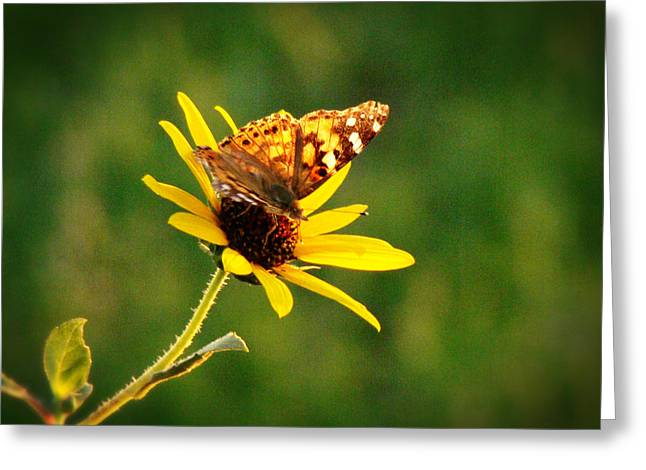 Crosswalk Digital Greeting Cards - Common Daisy Greeting Card by Beverly Guilliams