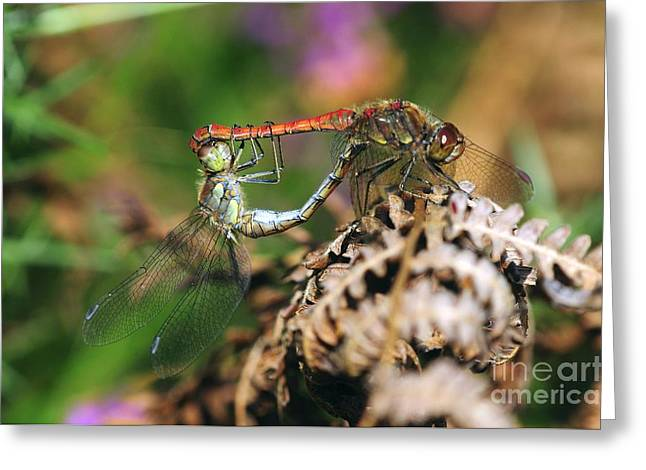 Pairs Greeting Cards - Common Darter Dragonflies Mating Greeting Card by Colin Varndell