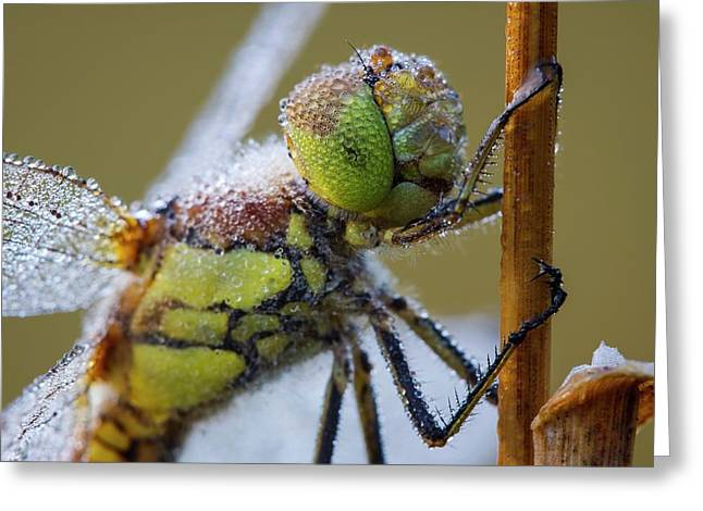 Common Darter Dragonfly Greeting Card by Heath Mcdonald