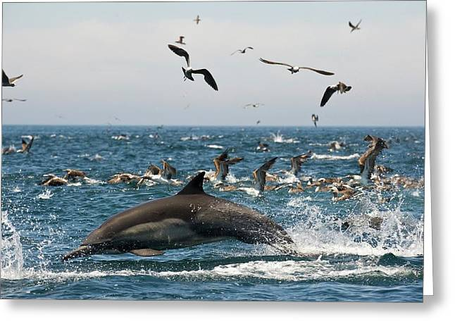 Common Dolphin Greeting Card by Christopher Swann