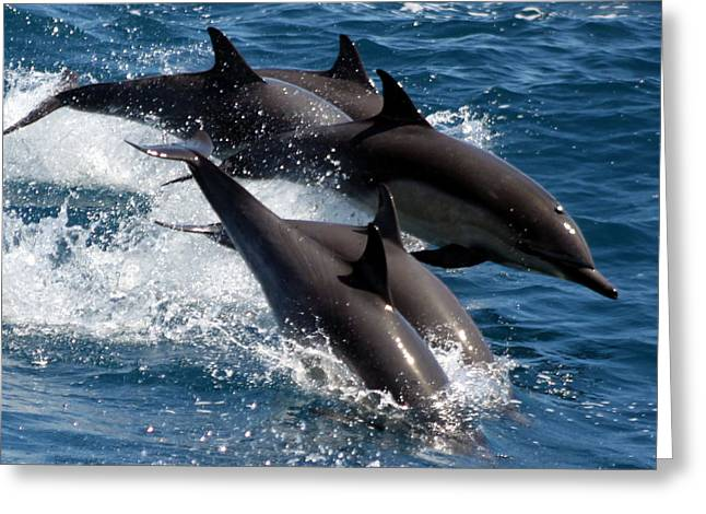 Valerie Broesch Greeting Cards - Common Dolphins Greeting Card by Valerie Broesch
