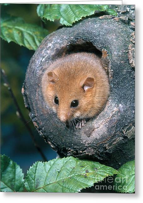 Dormouse Greeting Cards - Common Dormouse Greeting Card by Hans Reinhard