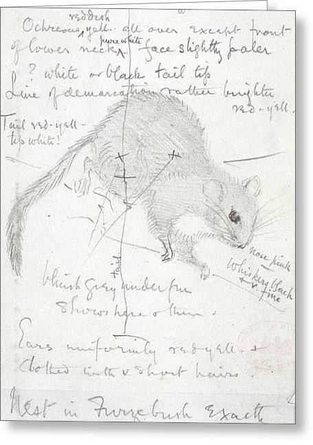 Eutheria Greeting Cards - Common dormouse, sketch Greeting Card by Science Photo Library