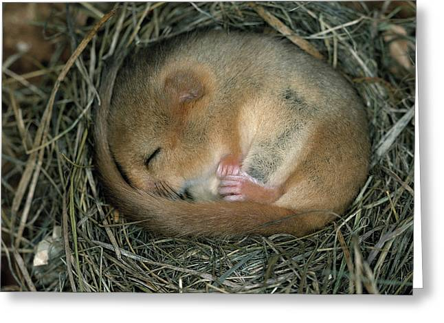 Dormouse Greeting Cards - Common Dormouse Sleeping Greeting Card by Dietmar Nill