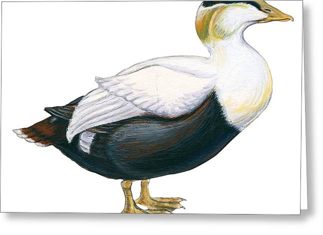 White Background Drawings Greeting Cards - Common eider Greeting Card by Anonymous