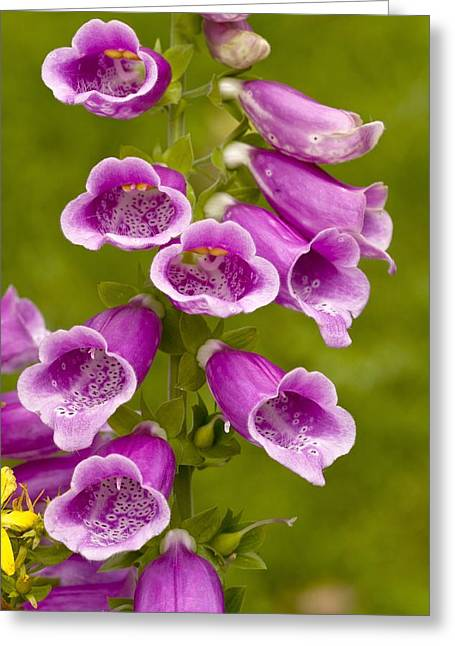Foxglove Flowers Greeting Cards - Common Foxglove (Digitalis purpurea) Greeting Card by Science Photo Library