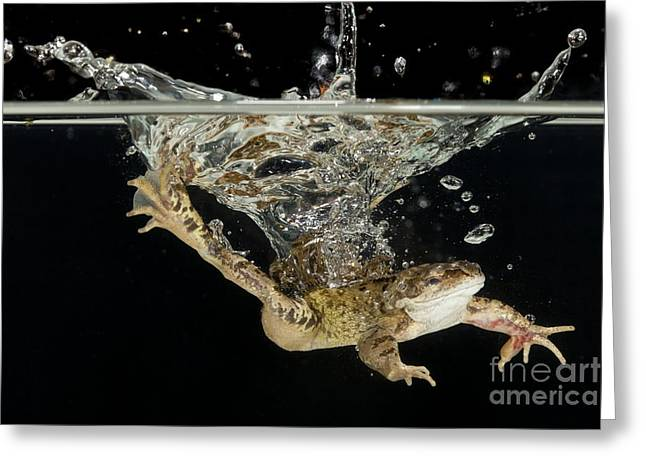 Common Frog Landing In Water Greeting Card by Simon Booth