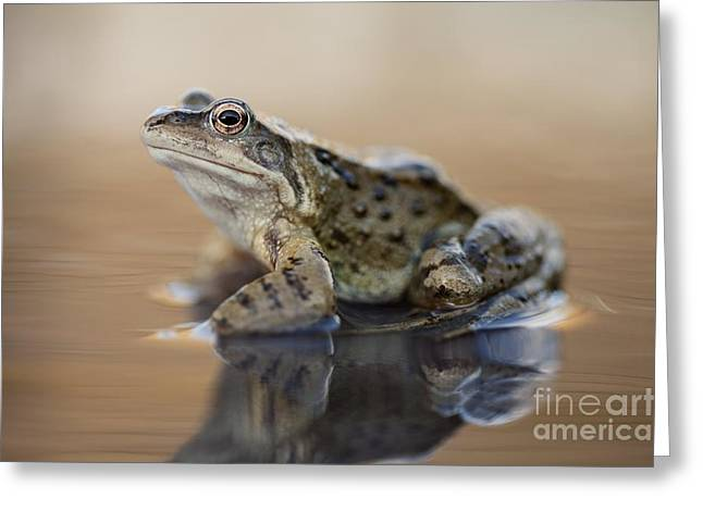 Brown Frog Greeting Cards - Common Frog On A Pond Greeting Card by Simon Booth