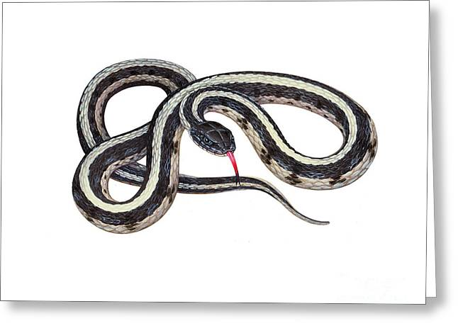 Snake Illustration Greeting Cards - Common Garter Snake Greeting Card by Carlyn Iverson