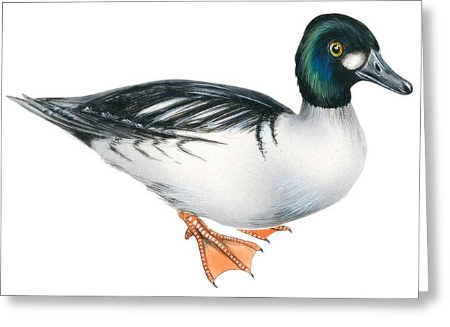Common goldeneye  Greeting Card by Anonymous