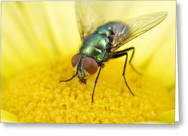 Eating Entomology Greeting Cards - Common greenbottle Greeting Card by Science Photo Library