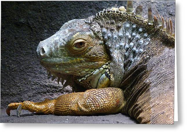 Saheed Greeting Cards - Common Iguana Relaxing Greeting Card by Margaret Saheed