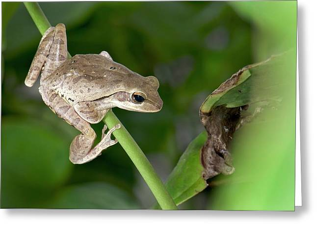 Common Indian Tree Frog Greeting Card by K Jayaram
