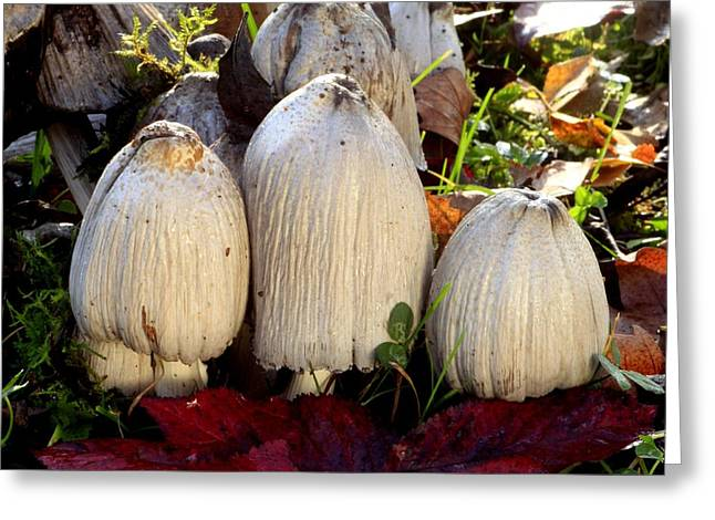 Forest Floor Greeting Cards - Common ink cap mushrooms Greeting Card by Science Photo Library