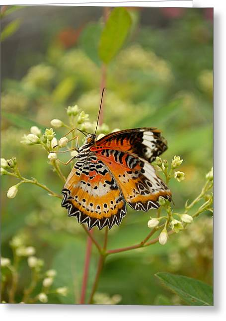 Fineartamerica Greeting Cards - Common Lacewing Butterfly Greeting Card by Eva Kaufman
