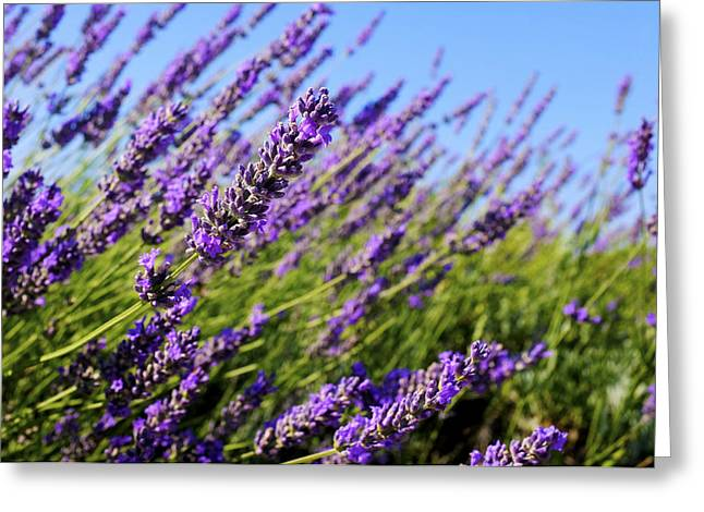 Lavandula Greeting Cards - Common lavender Greeting Card by Fabrizio Troiani