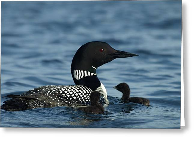 Peterson Nature Photography Greeting Cards - Common Loon Family Greeting Card by James Peterson