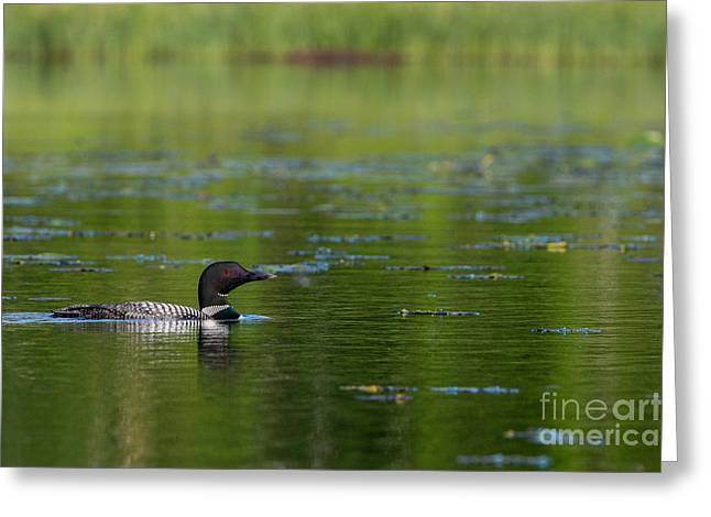 Animalia Greeting Cards - Common Loon Gavia Immer Greeting Card by Linda Freshwaters Arndt