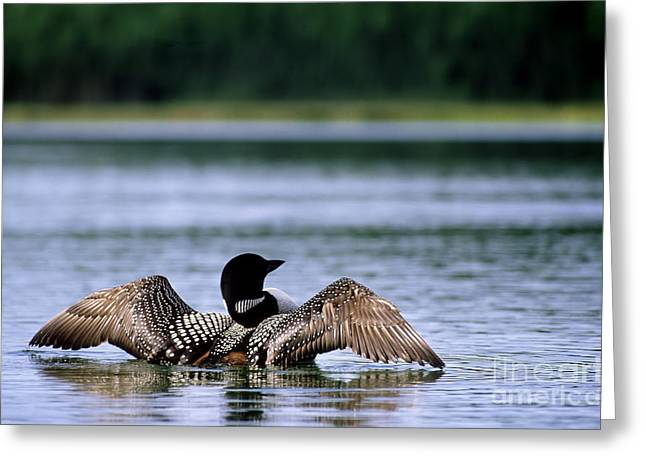 Stretching Wings Greeting Cards - Common Loon Greeting Card by Mark Newman