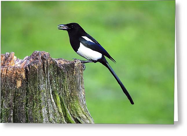 Pica Greeting Cards - Common magpie Greeting Card by Science Photo Library