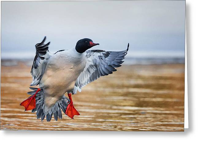 Housatonic River Greeting Cards - Common Merganser Drake Square Greeting Card by Bill  Wakeley