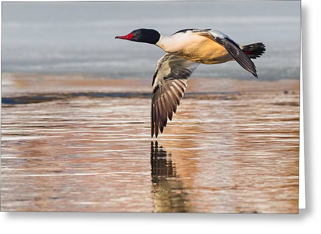 Reflections In River Greeting Cards - Common Merganser In Flight Square Greeting Card by Bill  Wakeley
