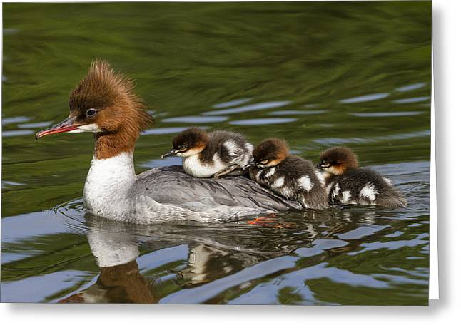 Animal Behaviour Greeting Cards - Common Merganser Mother Carrying Chicks Greeting Card by Konrad Wothe