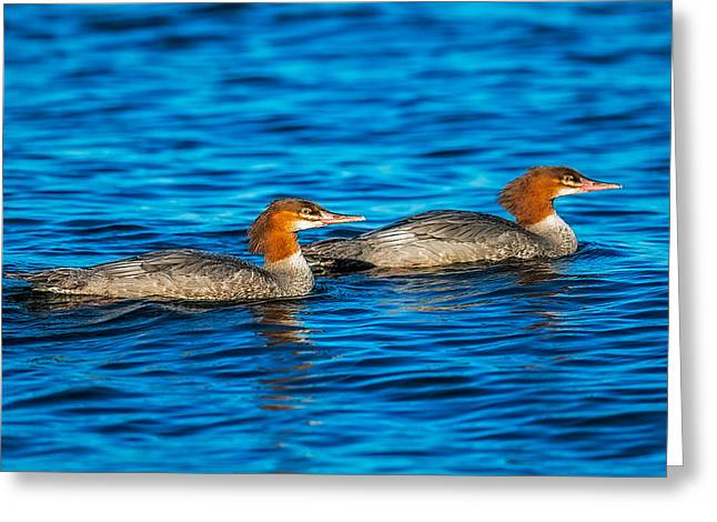 Water Fowl Greeting Cards - Common Merganser Greeting Card by Paul Freidlund