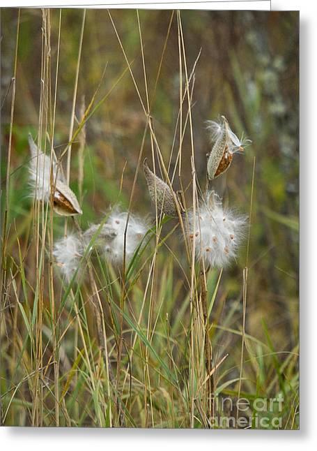 Northwoods Greeting Cards - Common Milkweed Greeting Card by Linda Freshwaters Arndt