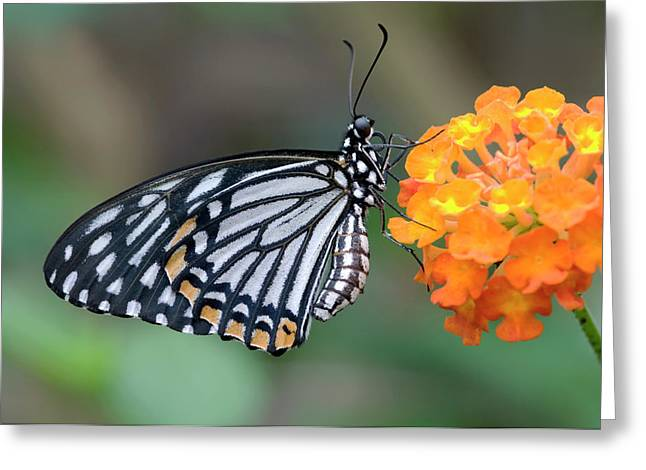 Common Mime Butterfly Greeting Card by Nigel Downer