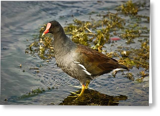Carrao Greeting Cards - Common Moorhen Greeting Card by Rich Leighton