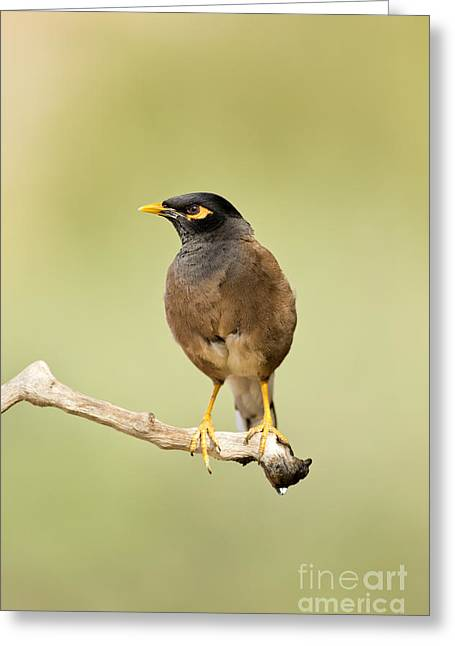 Talking Greeting Cards - Common myna  Greeting Card by Eyal Bartov
