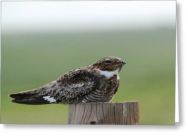Nightjars Greeting Cards - Common Nighthawk at Rest Greeting Card by Cascade Colors